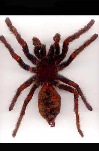 Tarantula Echt in Acryl