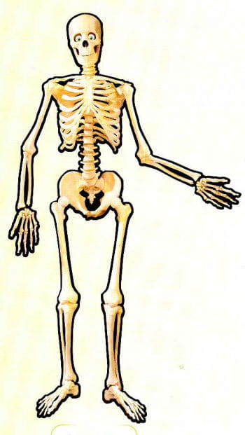 Moveable Cardboard Skeleton