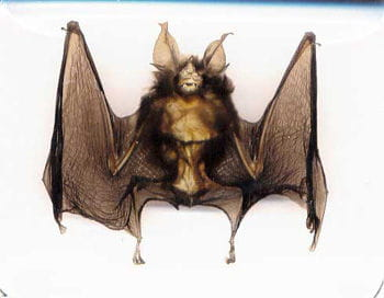 Real Bat In Acrylic