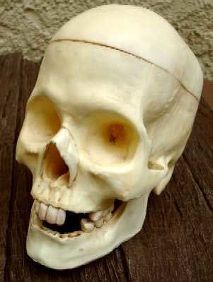 Rotting Skull / Totenschädel