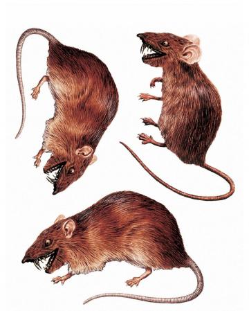 3D Ratten Fenster Sticker